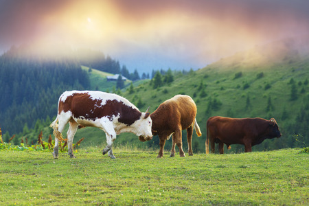 Over the village Verkhovyna Ivano-Frankivsk region in the mountains graze and fight young bulls Ukrainian mountaineers - Hutsul. They are left for the whole summer in alpine meadows