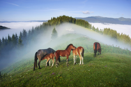 The foal drinks the milk of the mother of the mare against the background of the sea of fog and the herd of the wild horses of the Ukrainian mountaineers - the Hutsuls graze at large