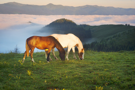 After the rain, the green pastures in the Alpine zone in the Carpathians are covered with a sea of fog and the herds of wild horses of the Ukrainian mountaineers the Hutsuls graze at large