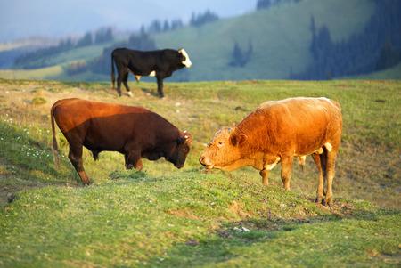 村の上に Verkhovyna でイヴァーノ = フランキーウシク地域を放牧し、若いブルズウクライナの登山家-Hutsul と戦います。彼らはアルプスの牧草地で夏全 写真素材