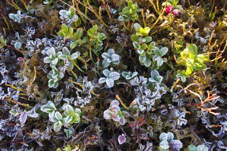 Placer de hojas hermosas de los arándanos y de los arándanos en la mañana fría del otoño con la ornamentación decorativa de la helada y del hielo de la cuesta de montaña del otoño de oro cárpato Foto de archivo - 89529642