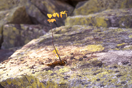 survives: Placer stones on a steep rocky slope, a lonely plant is small. Hardly survives birch little water for life the endurance of the plant surprises and there is a symbol of ecology and love of lifer  Stock Photo