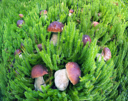 In the Ukrainian Carpathians, the wildest region is the Gorgan, the highest peak of Syvul. In the old spruce forests there are many delicious valuable white mushrooms of delicacies Stock Photo