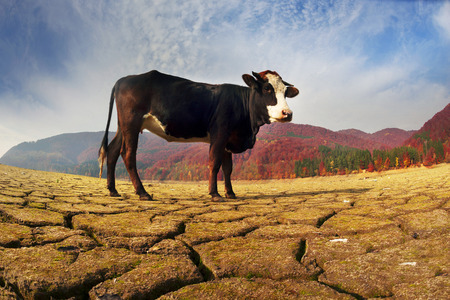 Dry autumn Olshanskoye reservoir with a hungry cow in the Carpathians symbolizes the ecological catastrophe nature of the planet as a result of the predatory use of natural resources Stock Photo