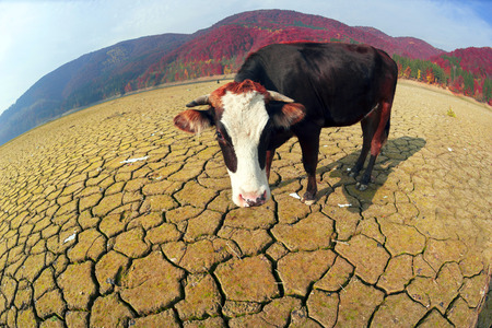 Dry autumn Olshanskoye reservoir with a hungry cow in the Carpathians symbolizes the ecological catastrophe nature of the planet as a result of the predatory use of natural resources Foto de archivo