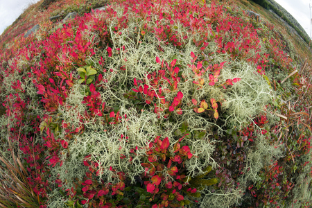 Autumn in the Ukrainian Carpathians covers the alpine slopes of peaks with colorful ornamental carpets of plants and berries. Bright colors and picturesque pattern of leaves and twigs