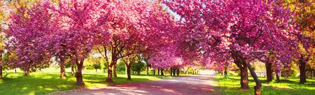Hermosas flores de cereza japonesa florecieron en el jardín de la ciudad de Uzhgorod y Mukachevo. Delicados pétalos brillan entre las ramas y son un símbolo de Transcarpatia