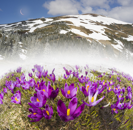 Spring in the Ukrainian Carpathians against the backdrop of wild snow tops and frosted spruces are shelters and ski slopes, blossom of gentle beautiful mountain flowers of saffron crocus Stock Photo