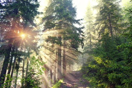 A gentle beautiful mist in the bright sunbeams of the sunrise glows with magic rays in the wild coniferous alpine forest of Europe, where old trees grow on the freedom of mountain peaks