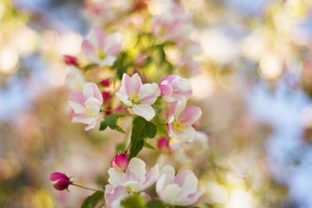 Beautiful flowers of Japanese cherry apple bloomed in the city garden of Uzhgorod and Mukachevo. Delicate petals shine among the branches and are a symbol of Transcarpathia