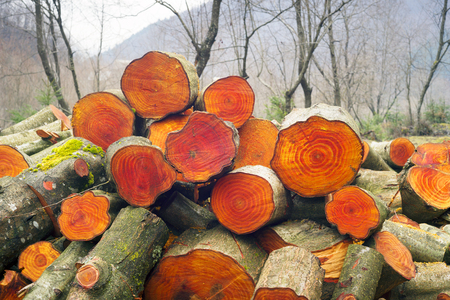 Misty and smoky rainy weather in the Carpathian forest against the backdrop of a log of alder firewood. Beautiful orange red texture annual rings of deciduous wood valued in furniture