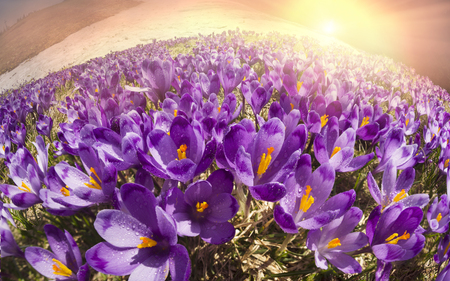 Spring in the Ukrainian Carpathians bad weather frost against the backdrop of wild snow tops and frosted fir trees bloom gentle beautiful mountain flowers of saffron - crocus Imagens