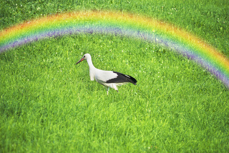 On the Carpathian pastures on the lush grass against the backdrop of wild forests walking, looking for food and a married couple free beautiful birds - storks, symbols of love peace fidelity Reklamní fotografie