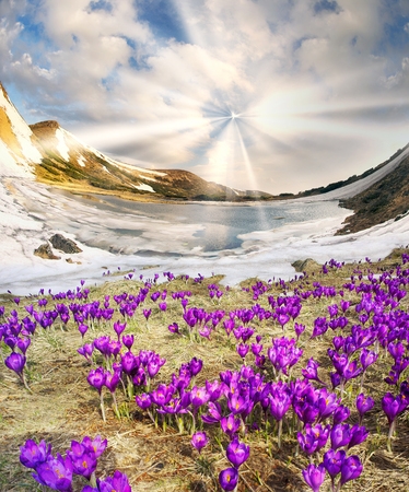 In the Ukrainian Carpathians among alpine meadows at a high altitude lake Nesamovyte Montenegro is located where the end of May the snow melts and grows a lot of beautiful crocus delicate