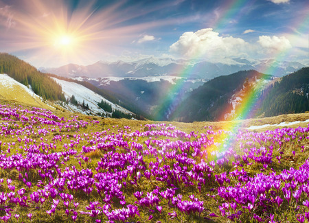 Ukraine, wild Montenegrin Mountains on the background of alpine sheep pasture in early spring in March, covered with a thick carpet of lush fantastically beautiful flowers pervotsvetov- crocus, saffron