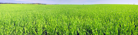 Spring warm air the sun warms the ground  begin to beautiful green field with a future crop of grain in Ukraines breadbasket bright beautiful young sprouts color emerald shines in the light