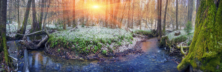 Spring rare flowers - beautiful snowdrop bloom in March in alpine coniferous and deciduous forests on the background of wild creeks, swamps, lakes Carpathian Transcarpathian Ukraine after the snow melts