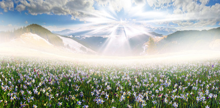 Spring in April and May on wet alpine fields Chernogora sprout many beautiful wild daffodils on the background of snowy peaks of cold soaking up the warm rays of the mist at sunrise Stock Photo