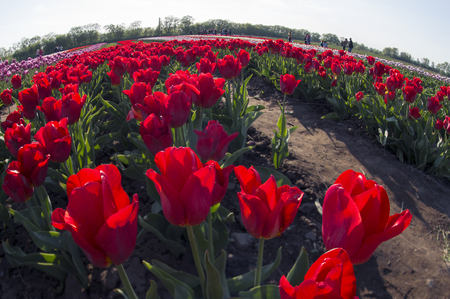 Ukraine, Chernivtsi, April 6, 2015: The field in the village Mamaivtsi, with Dutch varieties tyulpanov- one of the first in Ukraine has become landmark in the region, growing beautiful flowers