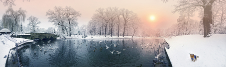 After a heavy snowfall, the fabulous beauty of the morning winter old park in Europe, Ukraine among the beautiful white oak trees is a lake with wild ducks, pigeons, gulls  and a dog 스톡 콘텐츠