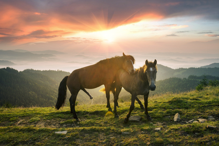 Sunny morning and free beautiful strong horses make love and graze, give birth to foals on the summits among the wild Carpathian panoramas of Ukraine all summer and autumn