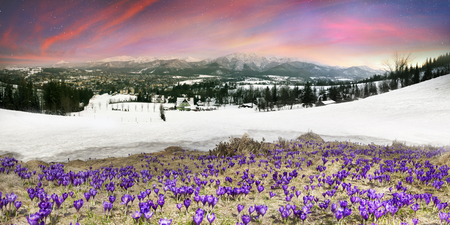 Sharp Alpine peaks with snow and glaciers soar above the spring meadows, where crocuses bloom saffron; delicate fragrant spring primroses