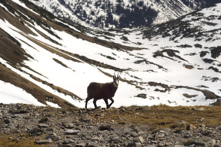 At an altitude of 2 kilometers among rare grass on the glaciers and snow fields in the Tatras, Poland wild mountain goats graze