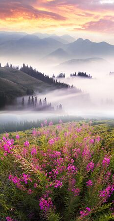 The gentle light of a foggy dawn illuminates the beautiful inflorescences of wild willow-tea in the Carpathian alpine meadows after a rain