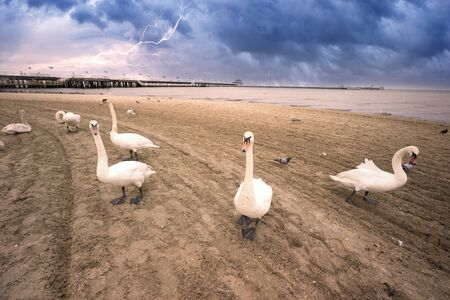 Poland, Sopot, 23. 05. 2019: The most famous object and attraction is the wooden sea mole (Molo), the longest in Europe. Beside him are people and swans on the beach 版權商用圖片