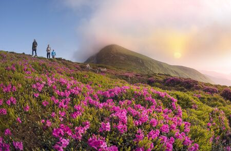 Spring summer are the period of flowering of bright beautiful red and pink alpine flowers rhododenron and anemone in the Carpathians on the Montenegrin ridge near Goverla ( Hoverla ) 版權商用圖片