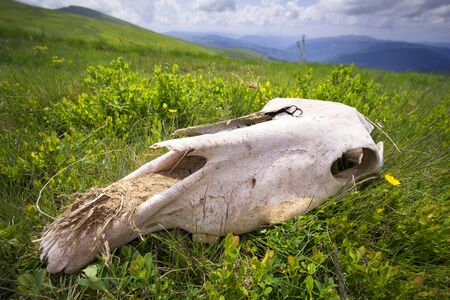 huge skull in the grass was found by tourists on alpine pastures. This is probably a horse, but it looks like something terrible, like dinosaurs