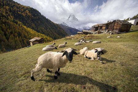 Animals near the Matterhorn graze in clean fields and bring wool, milk, meat to the traditional mining. Against the background of traditional Swiss houses