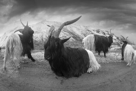 Animals near the Matterhorn graze in clean fields and bring wool, milk, meat to traditional mining Imagens