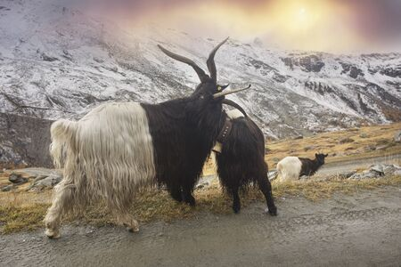 Animals near the Matterhorn graze in clean fields and bring wool, milk, meat to traditional mining