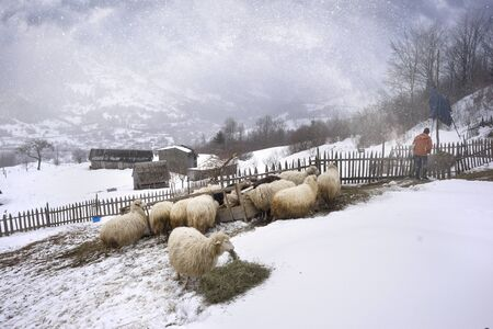 A severe frost and a blizzard made a fabulous ice landscape, among which sheep graze in the fence against the background of rural mountain houses of an alpine village