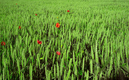 There are wild red poppies background.