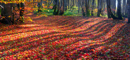 At sunset and sunrise in an autumn deciduous forest in the Carpathian mountains, light draws fabulous patterns on a golden carpet of leaves