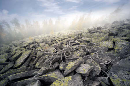 On the top of a mountain in the Carpathians, Ukraine, birch and coniferous forest against the background of the sunrise. In the valley, the sea of fog. Dry root like octopus.