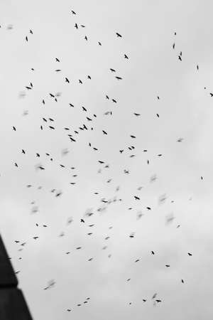 In stormy weather or before cataclysms, crow and raven birds worry and gather in huge black flocks, circle in the sky, deafening everything with a loud croak. Silhouettes are blurred by speed and long exposure. 版權商用圖片