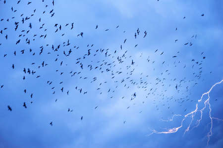 In stormy weather or before cataclysms, crow and raven birds worry and gather in huge black flocks, circle in the sky, deafening everything with a loud croak. Lightning strike and thunder. 版權商用圖片