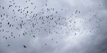 In stormy weather or before cataclysms, crow and raven birds worry and gather in huge black flocks, circle in the sky, deafening everything with a loud croak