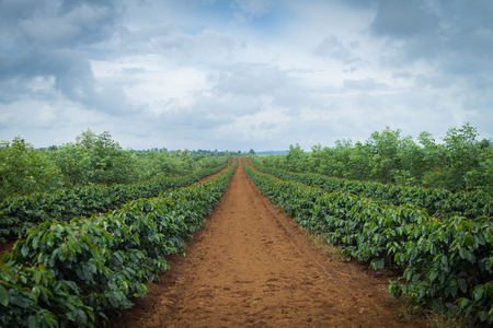 arbol de cafe: Plantación de café
