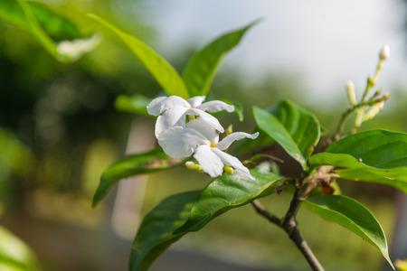 jessamine: Arancione Jessamine, cosmetico Corteccia di albero