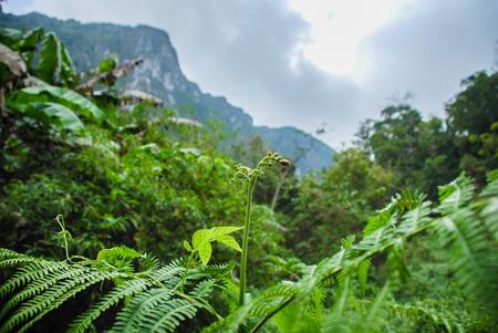 dao: Fern of chiang dao mountain