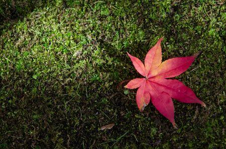 mosses: Single red maple leaf on mosses floor Stock Photo