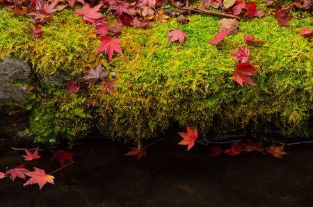 mosses: Red maple leaves on mosses floor