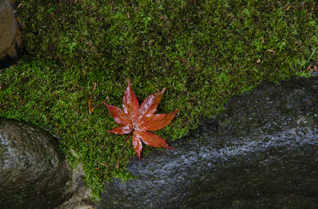 dense mats: Foliage maple leaf on mosses floor