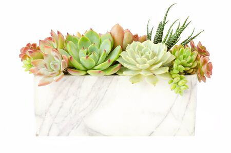 Arrangement of red green Echeveria and Zebra plant succulent flowering houseplants in square pot planter white background Reklamní fotografie