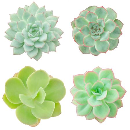Mix types of Green Echeveria Succulent Flowering Plants Indoor Houseplant White Background Top View