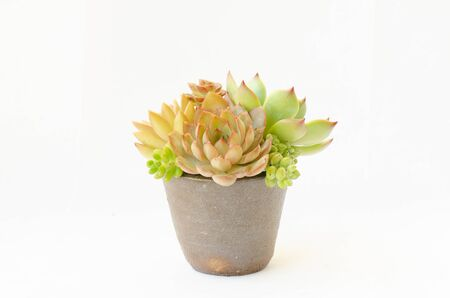 Arrangement of red green red Echeveria plant succulent flowering houseplants in clay pot planter and white background